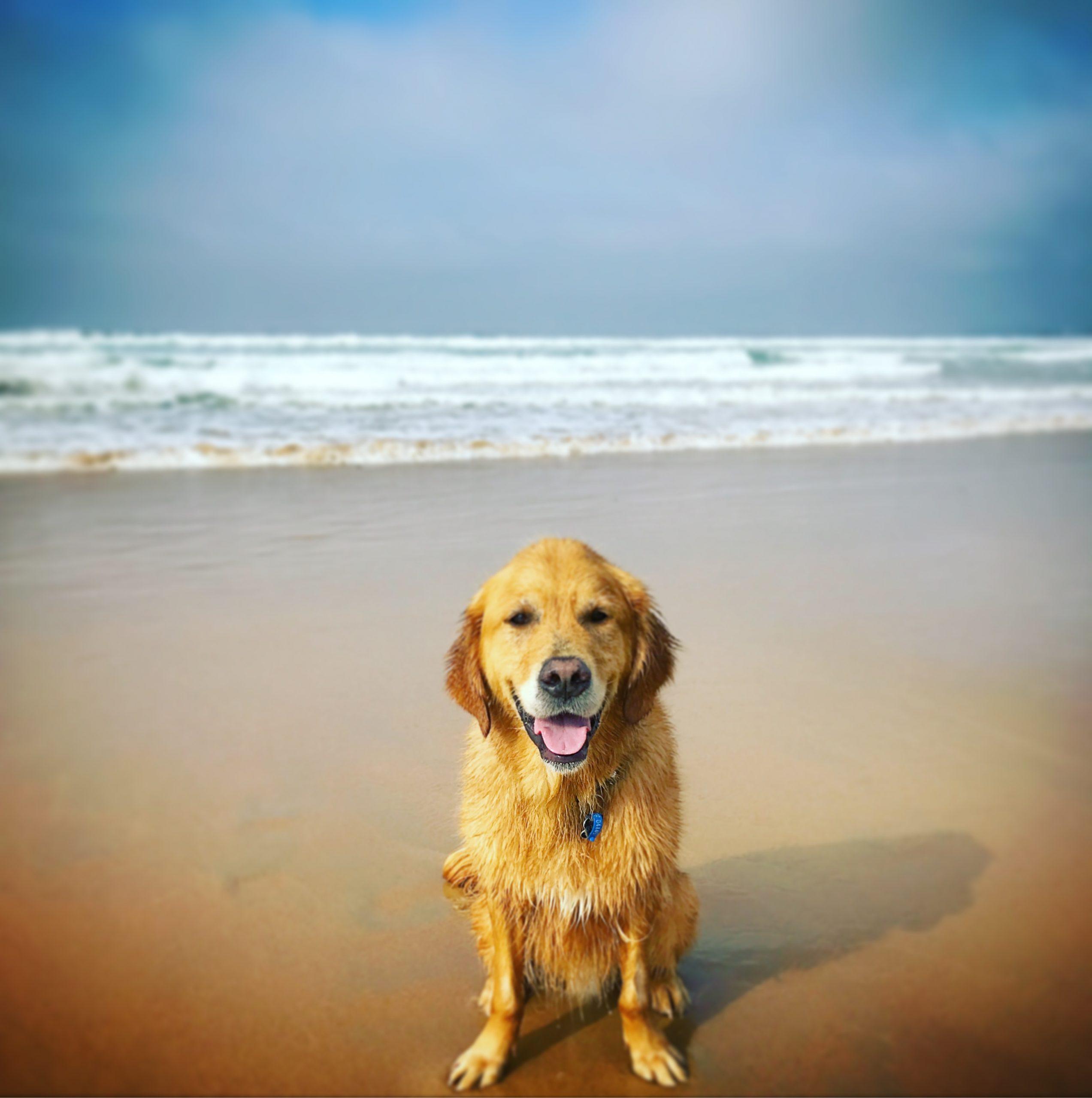 dog-recall-training-beach