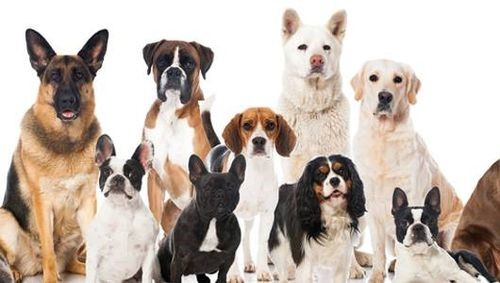 Which Dog Breed is Right for Me??